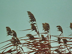 Retro reed (Gy:A ( attilafoto.hu )) Tags: autumn summer beach reed water analog digital lumix bestof hungary balaton 2011 lumixaward