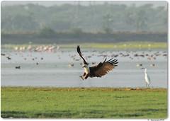 Brahminy Kite (Gurusan2010) Tags: tenkasi haliasturindus