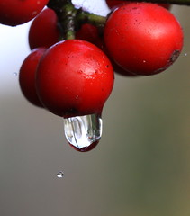 wet berrie (bugman11) Tags: trees red mist macro tree nature water fog canon droplets drops flora berries nederland thenetherlands drop dew droplet 1001nights platinumheartaward 100mm28lmacro 1001nightsmagiccity mygearandme mygearandmepremium