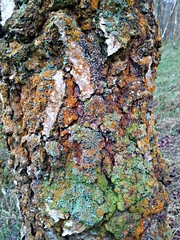 Birch bark, (Portlandbill) Tags: life autumn color colour tree fall nature countryside moss woods bark lichen birch wrinkle flickroid