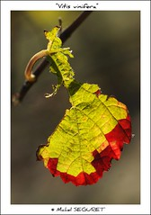 Vitis vinifera (Michel Seguret (Thanks for + 5.600.000 views)) Tags: autumn light france color fall hoja luz nature colors backlight automne season licht leaf vineyard vines nikon colorful via lumire herbst natur