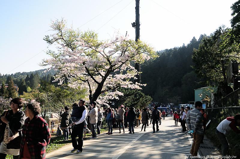 阿里山櫻花季 32