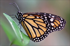 Monarch Butterfly (Foto Martien) Tags: holland colour macro netherlands beautiful dutch closeup butterfly insect zoo wings rotterdam blijdorp colorfull nederland papillon mariposa coloured schmetterling vlinder kleurrijk macrophoto dierentuin zuidholland butterflyhouse monarchbutterfly dierenpark kleuren polychrome butterflygarden bont monarque diergaardeblijdorp danausplexippus veelkleurig macrofoto kleurig mariposamonarca macroopname borboletamonarca vlinderhuis a550 monarchfalter monarchvlinder zoorotterdam martienuiterweerd amerikanischemonarch bestcapturesaoi martienarnhem minoltamacro100mm28 sonyalpha550 mygearandme mygearandmepremium mygearandmebronze mygearandmesilver mygearandmegold mygearandmeplatinum mygearandmediamond ringexcellence fotomartien overdektevlindertuin