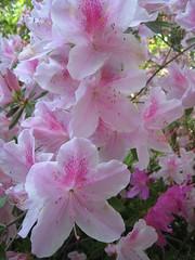 IMG_7471 Azaleas (gardenchien) Tags: pink flowers white flower virginia bush backyard azalea shrub