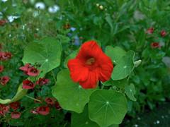 Cagnotte, Landes: Capucine (Tropaeolum) (Marie-Hlne Cingal) Tags: flowers france flores southwest fleurs 40 tropaeolum nasturtium capucine landes sudouest aquitaine capuchina cagnotte kapuzinerkressen paysdorthe