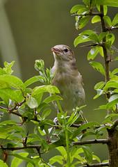 Garden warbler (Sylvia borin), Brandon Marsh, Warwickshire 05Jul11 (Lathers) Tags: brandon warwickshire gardenwarbler nbw sylviaborin canonef300mmf4lisusm canon7d wildinthemidlands wkwt 05jul11