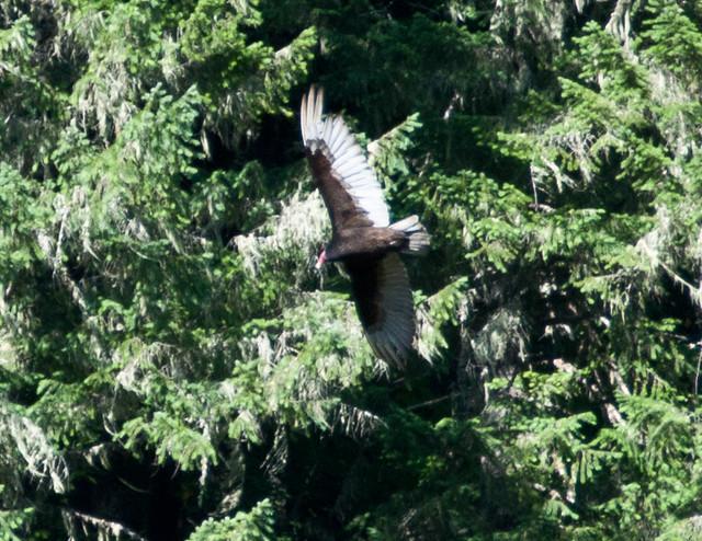 Hawk!