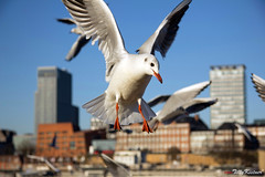 Hamburg Seagull (Benjamin von Tilly Kistner) Tags: city travel sky seagulls eye animal animals skyline architecture skyscraper canon germany de geotagged deutschland photography eos freedom fly flying photo wings eyes europe photos seagull hamburg wing free german augen hafen canoneos auge gebaeude hochhaus schnabel habour fliegen habor mven freiheit mve flug norddeutschland flgel moeve canon1785is canon1785 moeven colorphotoaward canoneos60d eos60d mygearandme ringexcellence flickrstruereflection1 flickrstruereflection2 flickrstruereflection3 flickrstruereflection4 flickrstruereflection5 flickrstruereflection6 flickrstruereflection7