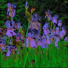 Iris Study (Tim Noonan) Tags: flowers colour green art digital photoshop tim purple vivid manipulation imagination irises hypothetical digi vividimagination shockofthenew sotn newreality sharingart maxfudge awardtree maxfudgeexcellence maxfudgeawardandexcellencegroup digitalartscene netartii donnasmagicalpix digitalartscenepro