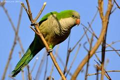 Cotorra / Caturrita (Tude e Joo) Tags: argentina birds buenosaires aves palermo cotorra monkparakeet myiopsittamonachus caturrita