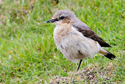 Wheatear (Oenanthe oenanthe) female with insect