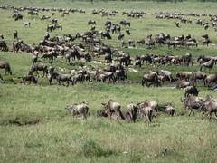 Gnus in Masai Mara (Carlos Affonso) Tags: africa kenya safari masai maasai savanna masaimara maasaimara savana quênia