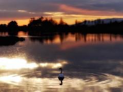 GENTLE ON MY MIND (kenny barker) Tags: sunset sun water scotland swan bravo loch bonnybridge naturepoetry panasonicg1 bonnytoun daarklands daarklandsexcellence onlythebestofnature sthelensloch vqnight vangoghexcellence