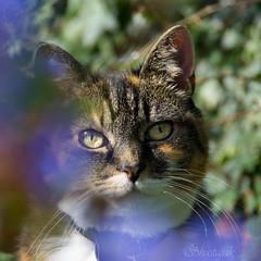 Lily Amongst the Flowers (Shastajak) Tags: lily blind pentax tortoiseshell britishshorthair k5 moggy sightless blindcat tamron18250mm pentaxk5