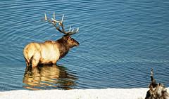 Bull Elk (Infinita Highway!) Tags: park hot tower pool spring highway sony grand rushmore mount national yellowstone badlands elk alpha teton bison expedição prismatic troller a290 infinita delvis dslra290