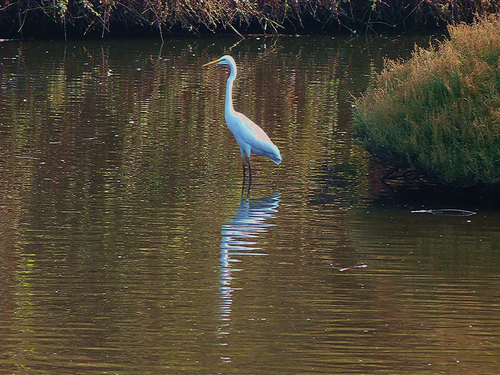 07-10-2011-big-egret-reflection2