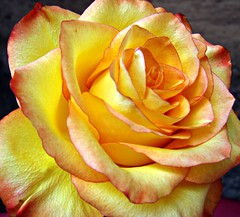 Yellow rose, Explored (#45) (CameliaTWU) Tags: flower rose rosa rosaceae dicot photoshopcreativo flickrsfinestimages1 flickrsfinestimages2 flickrsfinestimages3