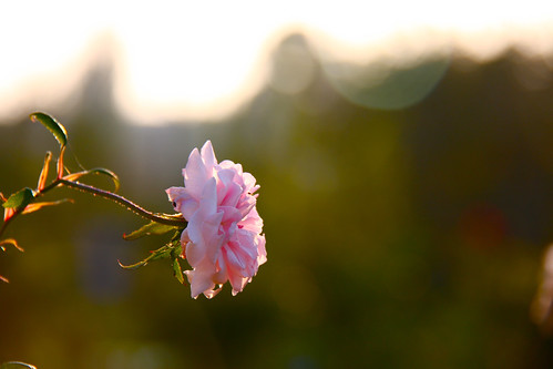 Flower at Sunset