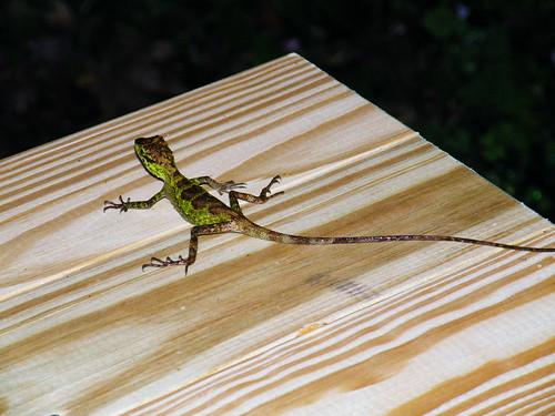 台灣攀木蜥蜴為雌雄二型性,圖為均一擴散型的黃口攀蜥雌蜥。攝影:呂軍逸。