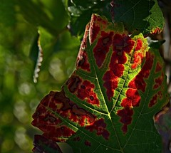 Vineyard of Metzingen, climbing down - 3/8  (KF-Photo) Tags: autumn rot leave herbst autumnleaves blatt wein weinberg metzingen rebe weinrebe gemlde weinblatt herbstblatt wunderwerk komplementrfarben vineleave herbstknstler