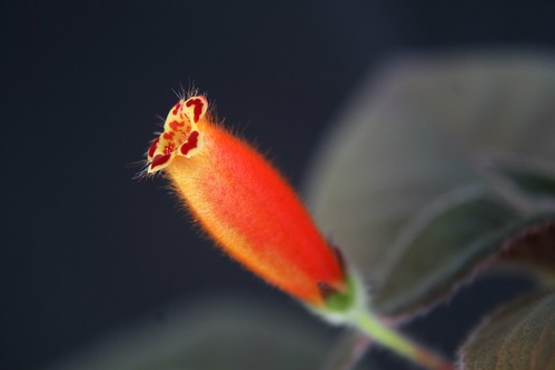 Kohleria sp Trinidad flower side view