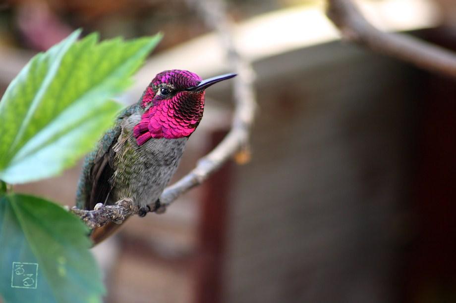 Anna's Hummingbird 101811-2