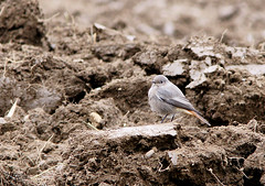 Hausrotschwanz (wigerl - herwig ster) Tags: bird nature field feld vogel tiffen feldkirchen hausrotschwanz minolta70210f4 sonyalpha700