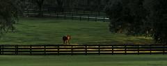 Evening Graze (skippys1229) Tags: sunset horse canon florida canonrebel paddock ocala goldenlight marioncounty horsefarm ocalafl ocalaflorida 55250mm marioncountyfl canonrebelt1i
