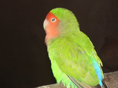 Rosy-faced Lovebird at Lahore Zoo by FudgeFury