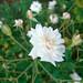 ホワイト セシル ブルンナー(White Cecille Brunner)
