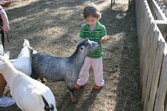 (mightymarce) Tags: october goats donovan 2011 canon1785mm fogwillowpumpkinfarm