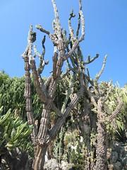 Monaco N 11'0926 - 40 (studio-d) Tags: cactus monaco prickly succulents exoticgarden jardinexotiquedemonaco