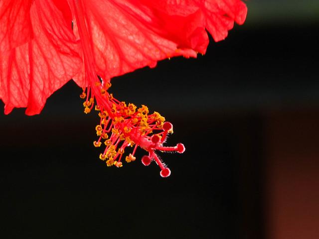 IMG_2658 Hibiscus - 大红花