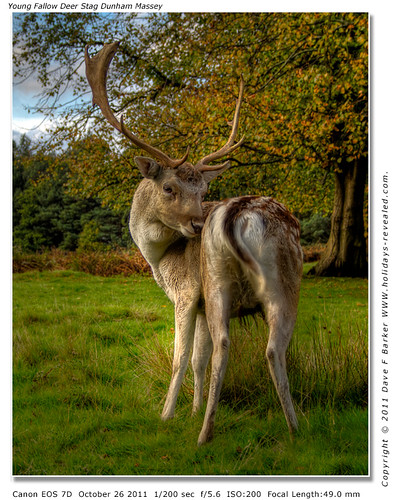 """Does My Bum Look Big In This"" Young Fallow Deer Stag Dunham Massey"