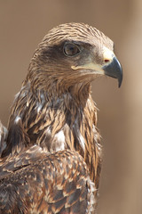 Bird Of Prey Portrait (Nicolas Gailland) Tags: portrait bird nature animal eagle tunisia tunis falcon prey vulture oiseau faune rapace