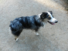 DSCN0033 (rlg) Tags: november dog male animal mammal 05 indigo saturday 1105 australianshepherd rd indi 2011 fpr 175years nikonp500 201111 11052011 20111105 onedogpic