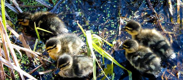 Ducklings - Waitangi Park