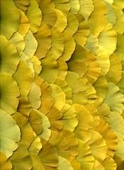 52116 Ginkgo biloba (horticultural art) Tags: leaves ginkgo pattern scales ginkgobiloba horticulture bej horticulturalart