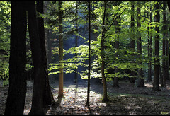 My forest (Rianetna) Tags: wood light les forest sunrays beech buk bosco faggio faggi sunligt buiny buky vodradskbuiny