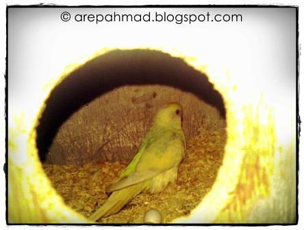 budgie nest