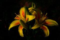 Pictures Of Lily #4 (f l a g e o l e t) Tags: flower japan lily sigma gifu gujo dp2x