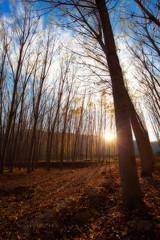 Se, de un lugar (65º EXPLORE - 15-11-2011) (Jose Casielles) Tags: color luz sol contraluz hojas bosque puestadesol puesta yecla chopos fotografíasjcasielles