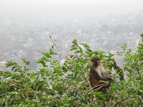 Monkey in a tree with view of Kathmandu
