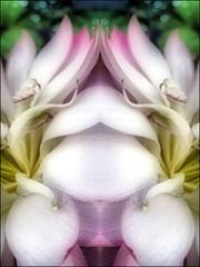 (Tlgyesi Kata) Tags: lotus blossom budapest botanicalgarden lotusflower nelumbonucifera fvszkert botanikuskert withcanonpowershota620 ltuszvirg