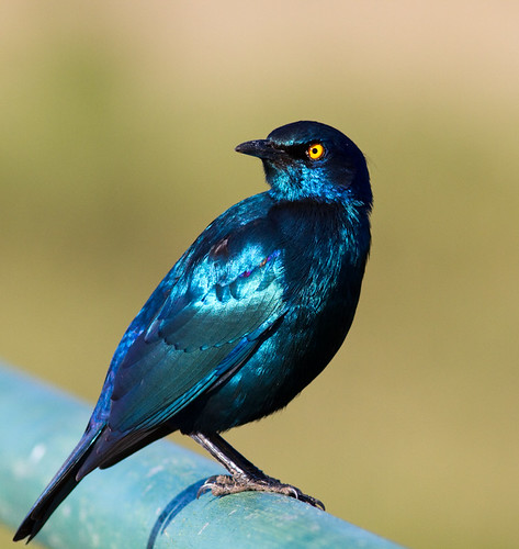 Cape Glossy Starling.
