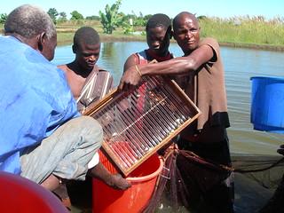 Fish grading, I. Amadu, Chingale, Zomba, Malawi. Photo by Asafu Chijere, 2010