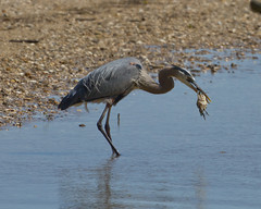 Great Blue Heron eating a Blue Crab (2 of 5)