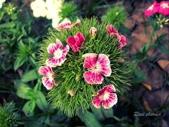 (Ravinepz) Tags: flowers nepal love colors beautiful true lovely nepali arghakhanchi pusp ravisharma fhool