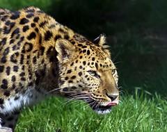 Amur Leopard (JDPhotography -) Tags: canon kent leopard bigcat thumbsup amurleopard bigmomma johndavies smarden specanimal wildlifeheritagefoundation eos50d whf wildarena friendlychallenges yourockwinner gamex2winner herowinner ultraherowinner gamex3winner gamesweepwinner pregameduelwinner canonefs75300