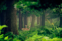 enchanted forest (andrew evans.) Tags: wood morning trees summer england mist nature misty fog fairytale forest sunrise countryside kent woods nikon bokeh wildlife deer wonderland storybook magical f28 d3 400mm